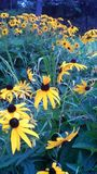 Black Eyed Susan with Tiara stock image