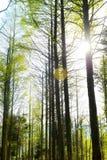 The Morning Sun Among The Tree Stock Image