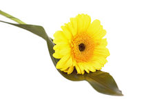 Just single pretty flower. Yellow gerbera on the white royalty free stock photography