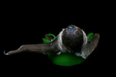 Just Sloth'n Around. Sloth in a Bowl Stock Images