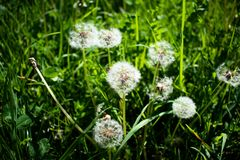 Just some dandelion on the grass. Little and simple beautiful things that mother nature gave to us Stock Photo