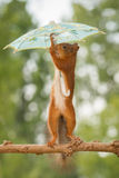 Just stopped raining. Female red squirrel standing on branch holding a umbrella Stock Photos