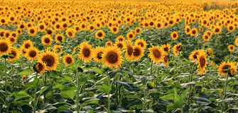 Just Sunflowers. A field of sunflowers in the south of Romania Stock Photo