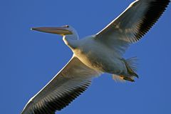 White Pelican at Circle B Bar Reserve, Florida royalty free stock photos