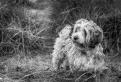 Just Thinking. This is a black and white  picture of a Tibetan Terrior Royalty Free Stock Image