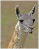 Just Thinking. A bright eyed Lama with a toothpick Stock Image