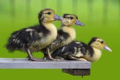 Just Three Cute ducklings stock photos