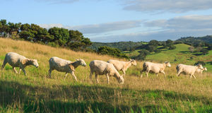 Just trimmed sheeps on the hills. Photo took in New Zealand, photo is usable on picture post card, calendar, gardening Royalty Free Stock Photography