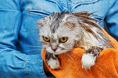 Just washed angry cat. Angry dissatisfied wet cat of scottish fold breed with lop ears trying to jump from hands after washing in bathroom. Pet care concept Stock Images