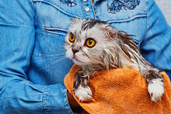 Just washed lop-eared cat in bathroom Stock Photos