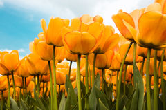 Just Yellow. Yellow Tulips on the Dutch fields royalty free stock photography