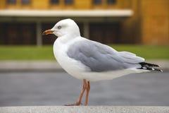 Juste en vit seagull Royaltyfri Fotografi