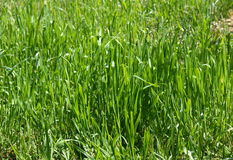 Juste herbe verte Photos stock