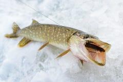 Juste hirondelle attrapée de Pike un poisson, pêche d'hiver de glace pour l'appât vivant Image libre de droits