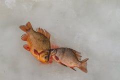 Juste le poisson emprisonné se trouve sur la glace Photos stock