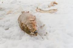 Juste le poisson emprisonné se trouve sur la glace Images libres de droits