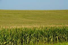 Juste maïs Photographie stock libre de droits