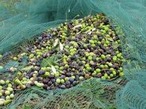 Juste olives sélectionnées sur le filet pendant le temps de récolte La Toscane, Italie Photos libres de droits