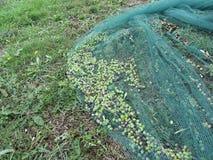 Juste olives sélectionnées sur le filet pendant le temps de récolte La Toscane, Italie Photographie stock libre de droits