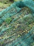 Juste olives sélectionnées sur le filet pendant le temps de récolte La Toscane, Italie Photos stock