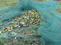 Juste olives sélectionnées sur le filet pendant le temps de récolte La Toscane, Italie Images libres de droits