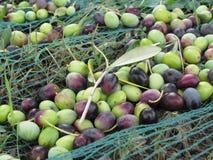 Juste olives sélectionnées sur le filet pendant le temps de récolte La Toscane, Italie Images stock