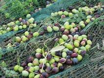 Juste olives sélectionnées sur le filet pendant le temps de récolte La Toscane, Italie Photo libre de droits