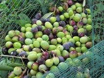 Juste olives sélectionnées sur le filet pendant le temps de récolte La Toscane, Italie Image libre de droits