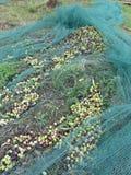 Juste olives sélectionnées sur le filet pendant le temps de récolte La Toscane, Italie Photographie stock