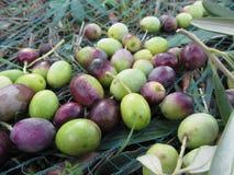 Juste olives sélectionnées sur le filet pendant le temps de récolte La Toscane, Italie Photo stock