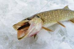 Juste Pike attrapé avec de petits poissons d'amorce dans sa bouche, pêche d'hiver de glace Photos stock