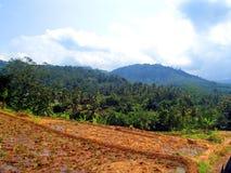 Juste plantation du riz images libres de droits