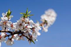 Juste plu en fonction Abricot de floraison Belle femme au printemps image libre de droits