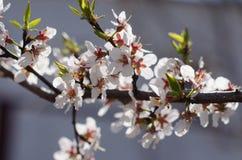 Juste plu en fonction Abricot de floraison Belle femme au printemps Photos libres de droits
