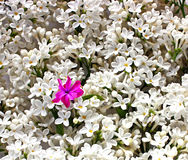 Juste plu en fonction Fleurs blanches lilas comme fond Photo libre de droits