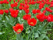 Juste plu en fonction Les tulipes rouges sur la place de ville sur la pelouse fleurissent Photos libres de droits