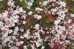 Juste plu en fonction Polyanthum rose de floraison de Jasminum de vigne de jasmin photographie stock libre de droits