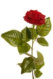 Juste une rose Image stock