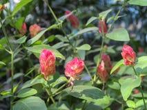 Justicia-brandegeana, Acanthaceaeblume Lizenzfreies Stockbild