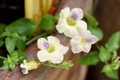 Justicia Gangetica blommor Arkivfoton