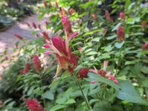 Justiciabrandegeana, Acanthaceae-bloem Royalty-vrije Stock Foto's