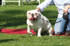 Justin Rudd Haute Dog Contest Stock Image