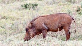 Jusy吃非洲野猪属africanus共同的warthog 免版税库存图片