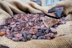Jute bag of cocoa beans Royalty Free Stock Photo