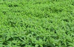 Juteaanplanting Stock Foto