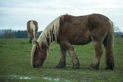 Jutland hästar, Equusferuscaballus arkivbilder