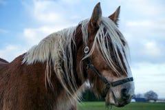 Jutland Horse Closeup, Equus ferus caballus Royalty Free Stock Photo