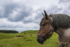 Jutland Horse in Nordby Bakker Stock Images