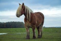Jutland Horse, Equus ferus caballus Royalty Free Stock Images