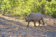 jutrzenkowy target1113_1_ nosorożec Obraz Royalty Free